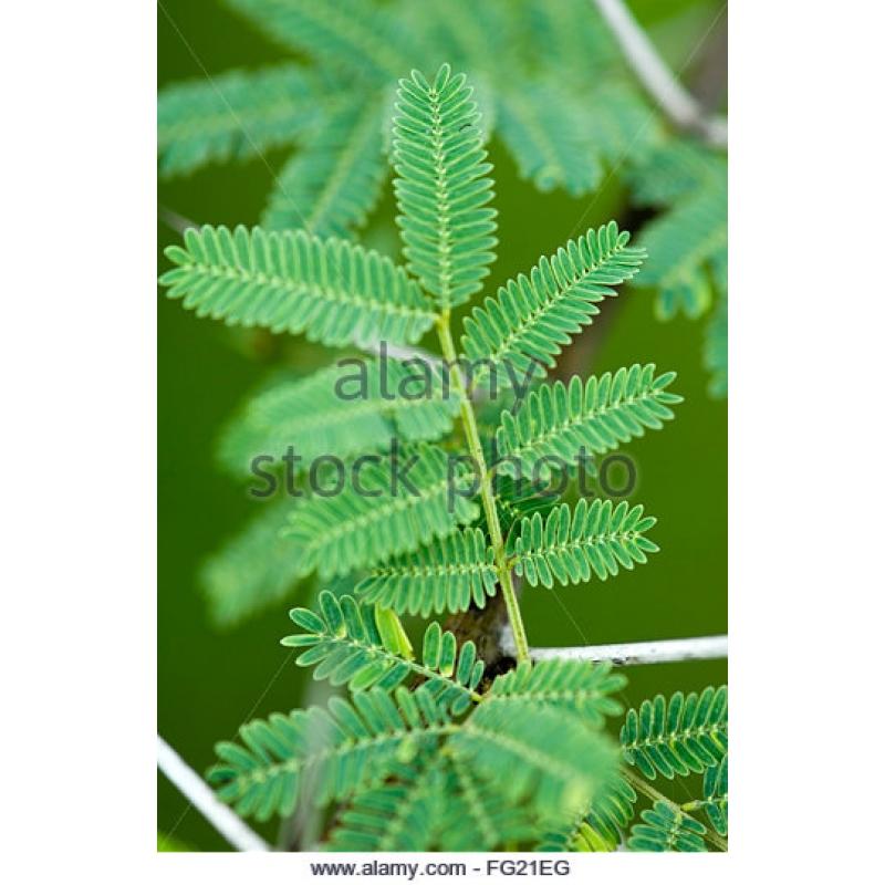 Acacia Arabica, Babul dry extract - www.greenbusinesstrade.com